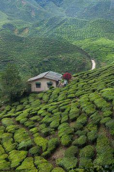 Tea fields malaysia