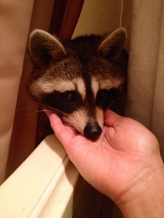 Rosie the Raccoon