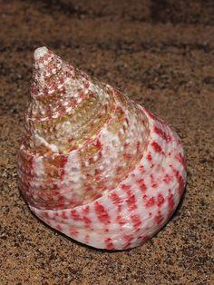 Mottled top snail (Trochus maculatus) by shadowshador, via Flickr