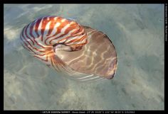 Great Barrier Reef Australia - rare deep sea Nautilus shell - floating at Heron Island - by Catlin Seaview Survey