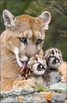 Mountain Lion Mama and kittens. Big Cats, Cats And Kittens, Cute Cats, Cats Bus, Cute Baby Animals, Animals And Pets, Funny Animals, Beautiful Cats, Animals Beautiful