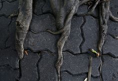 Tree roots force their way through sidewalk in ratchaburi district