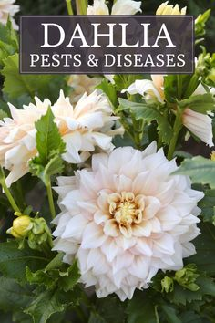 Dahlias are vigorous plants that are born to bloom. They have an astonishing amount of flower power, yet are not invincible. If you suspect your dahlias are being attacked by a pest or disease, this article can help you identify the problem and figure out how to resolve it.