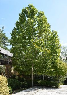 New introduction of London Planetree that is anthracnose resitant. Densely branched for a Plane tree. Foliage observed to be cleaner than other varieties in late summer. London Plane Tree, The Neighbor, Side Window, Shade Trees, Farm Gardens, During The Summer, Yard Landscaping, Lawn, Shades