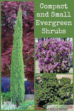 Small and compact evergreen shrubs for yards and gardens. These small evergreen shrubs are low maintenance and compact. They require little to no pruning and provide four seasons of beauty to the landscape. Small Evergreen Shrubs, Evergreen Garden, Small Shrubs, Small Trees, Trees And Shrubs, Small Garden Trees, Evergreen Landscape, Evergreen Trees, Container Plants