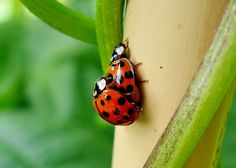 Wellcome Allotment        : How do harlequin ladybirds mate on a bamboo cane