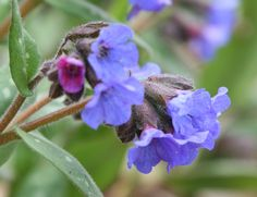 lungwort - Pulmonaria longifolia. Bright winter flowers on this good edging plant for the shadiest corners. Flowers Jan/Feb through spring. Pretty white spotted leaves.