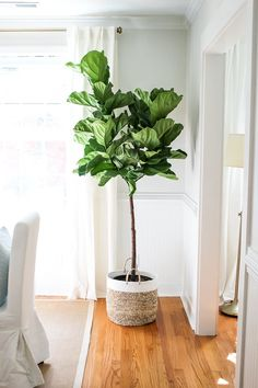 Our live, vibrant Fiddle Leaf Fig Tree is a perfect addition to any room & adds instant charm. Shop our fiddle leaf fig tree for sale today! Room With Plants, Diy Plants, Indoor Plants Diy, Trees To Plant, Indoor Design, Plant Decor