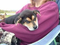 KAMI is an adoptable Shiba Inu Dog in Griffith, IN.  ...