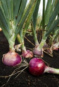 Growing onions and garlic