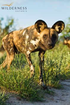 Chitabe Lediba - Also encountered are buffalo, elephant, lion and occasional sightings of wild dog, the subject of the Botswana Wild Dog Research Project that takes place in the area. Okavango Delta, Game Reserve, Wild Dogs, Research Projects, Impala, Wilderness, Buffalo, Safari, Hunting