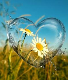 A Little Bit Of This. And A Little Bit Of That.I do not claim copyright or ownership of any content of this board or photos. Heart In Nature, Heart Art, Beautiful Flowers, Beautiful Pictures, Beautiful Dream, Sunflowers And Daisies, Daisy Love, I Love Heart, Heart Pics