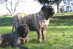 reverse brindle mastiff puppies