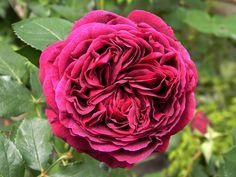 (klim)roos 'Falstaff' - Austin (1999). Grote komvormige bloemen in warm karmozijn-purperrood. Geurend. Als struik 120cm x 100cm, als klimmer 250cm.