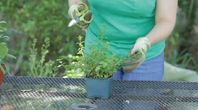 Uses for Chocolate Mint Plant | eHow