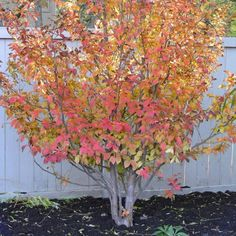Stewartia pseudocamellia: spring blooms, fall color, nice bark