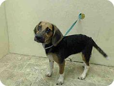 Brooklyn, NY - Beagle Mix. Meet PENNY, a dog for adoption. http://www.adoptapet.com/pet/11207602-brooklyn-new-york-beagle-mix