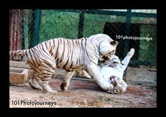 White Tiger, Bannerghatta National Park