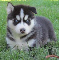 Siberian Husky Puppy For Sale Sydney Breed Siberian Husky