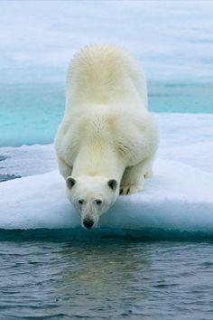 Polar bear | iPhone wallpaper