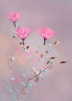 rachael-of-rose:    Dreaming in Blush by Magdalena Wasiczek.