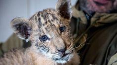 Mischung aus Löwe und Tiger: Seltener Liger in Russland geboren