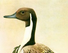 1961 Canard Pilet, Anas acuta, Barboteur, mâle nuptial, Anatidés, Oiseau…