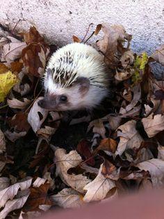 Hedgehog in foliage.