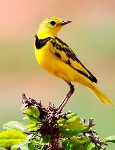 The golden pipit (Tmetothylacus tenellus) is a distinctive pipit of dry country grassland, savanna and shrubland in eastern Africa. It is native to Ethiopia, Kenya, Somalia, South Sudan, Tanzania and Uganda, and has occurred as a vagrant to Oman, South Africa and Zimbabwe. Strikingly yellow and black bird
