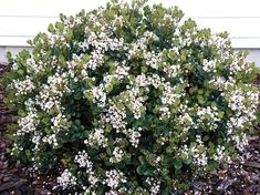 Indian hawthorn, 'Cosmic White' (1.5m tall), 'Cosmic Pink' (0.8m) and 'Snow Maiden' (1.5m) are best for hedging.