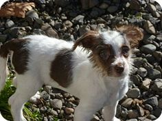 Pictures of PUPPIES a Toy Fox Terrier/Poodle (Toy or Tea Cup) Mix for adoption in Roy, WA who needs a loving home.