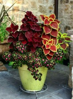 7 Are coleus plants poisonous? 8 Where does coleus plant grow? 9 What are the benefits of coleus plants? Companion plants Coleus is often used as ornamental plants because Container Flowers, Flower Planters, Garden Planters, Shade Plants Container, Fall Planters, Gnome Garden, Planters For Front Porch, Evergreen Container, Fall Flower Pots