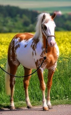 Que Paint Horse lindo!/What beautiful Paint Horse! Horses And Dogs, Cute Horses, Horse Love, Wild Horses, Black Horses, Painted Horses, Horse Photos, Horse Pictures, Cheval Pie