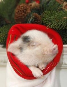 19 Incredibly Cute Photos of Mini Pig - Camille DePoyster - 19 Incredibly Cute Photos of Mini Pig Pig in a blanket! Cute Baby Pigs, Cute Piglets, Cute Baby Animals, Funny Animals, Farm Animals, Teacup Pigs, Amor Animal, Mini Pigs, Pet Pigs