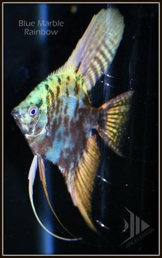 Blue Marble Rainbow Angel ~ He looked purple when he was a baby. Tropical Freshwater Fish, Tropical Fish Aquarium, Freshwater Aquarium Fish, Beautiful Fish, Animals Beautiful, Discus Fish, Betta Fish, Aquascaping, Cool Fish