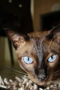 Seal Mink Tonkinese - Mr Miyagi (he knows karate) Siamese Cats, Kitty Cats, Cats And Kittens, Adorable Kittens, Cute Cats, Crazy Cat Lady, Crazy Cats, Oriental Cat Breeds, Animals And Pets