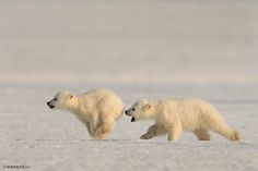 I'll Catch You! - 2 Polar Bear cubs, only 5 months old, chasing each other on the ice in Svalbard. the one the left almost bites his brother's behind.
