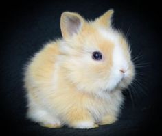 Lionhead baby, nothing more cute!