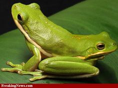 scary frog pictures   Two-Headed Animals Pictures - Strange Pics - Freaking News
