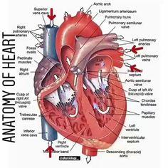 Human Body Anatomy, Human Anatomy And Physiology, Muscle Anatomy, Human Anatomy Picture, Cardiac Anatomy, Medical Anatomy, Heart Diagram, Mitral Valve, Nursing School Prerequisites