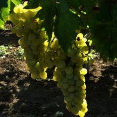 Vita de vie : Ghid complet de plantare intretinere si tratamente. Pinot Noir, Fruit, Plant