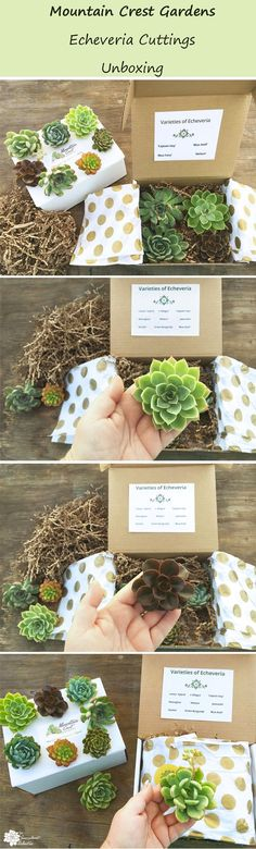 Succulent cuttings are so valuable for propagation to increase your collection, as well as succulent DIYs. Check out my unboxing of these incredible echeveria cuttings from Mountain Crest Gardens! Pin now, read later! :)