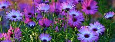 Purple Wildflowers ~ FB Cover