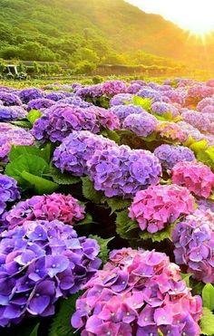 Purple Flowers Wallpaper, Pink And Purple Flowers, Wild Flowers, Beautiful Flowers, Hydrangea Care, Hydrangea Flower, Flower Aesthetic, Flower Pictures, Flower Seeds