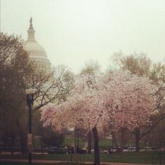Washington D.C. Japanese Cherry Trees in the Spring.