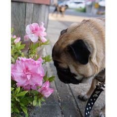 Pugs check out the craziest stuff