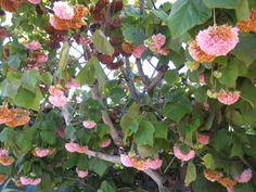 """Dombeya wallichii-""""Florida Hydrangea"""""""