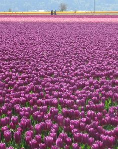 As far as you can see... pink tulips!