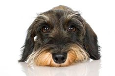 Wire Haired Dachshund. I want another one some day.