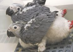 These African Grey Parrot chicks are already showing their telltale bright red tails! An easy way to distinguish the congo greys from the timnehs: CAGs have a solid black beak. Parakeet Colors, Parakeet Care, Parakeet Toys, Parrot Pet, Parrot Bird, Parrot Facts, Senegal Parrot, Baby Animals, Cute Animals